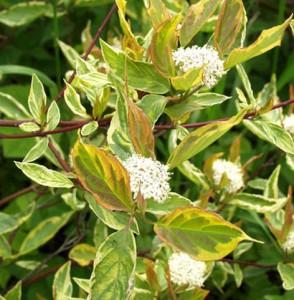 Cornus alba couchaultii