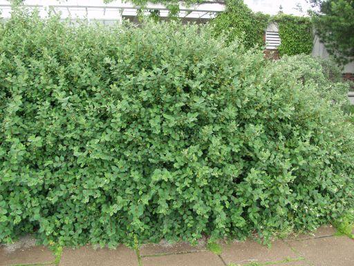 Cotoneaster integerrimus (2)