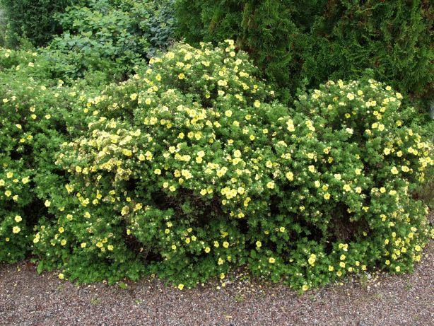 Dasiphora frut. Kobold