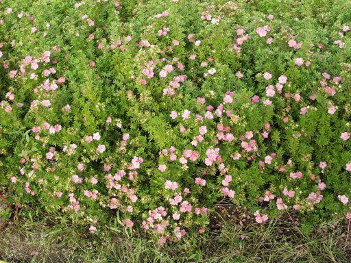 Dasiphora frut. Lovely Pink