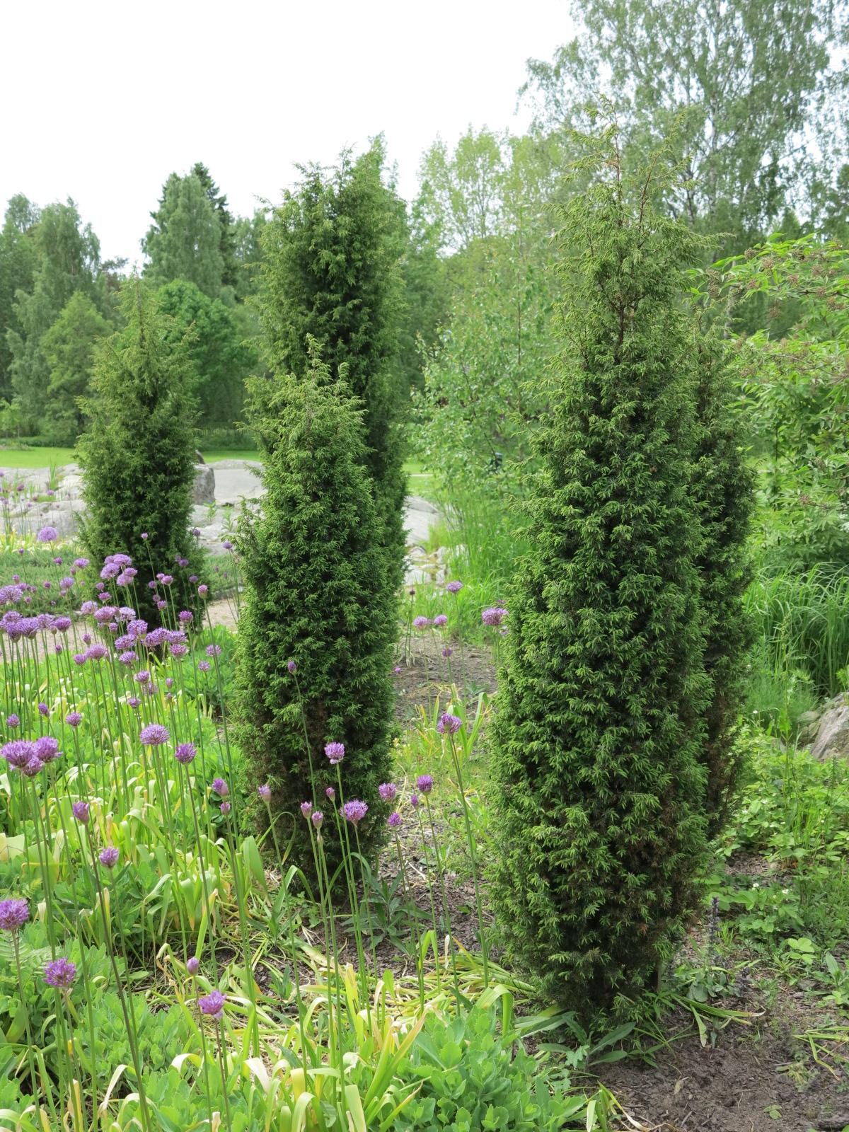 Juniperus-communis-Suecica-JU