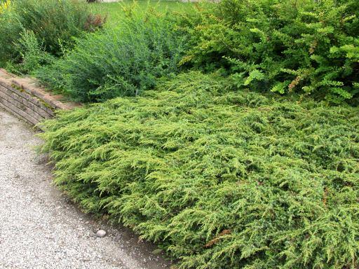 JuniperuscomRepanda