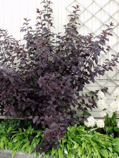 Physocarpus opulifolious Diabolo