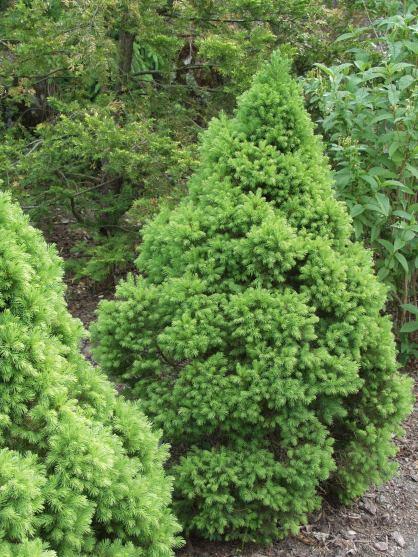 Picea_glauca_Conica