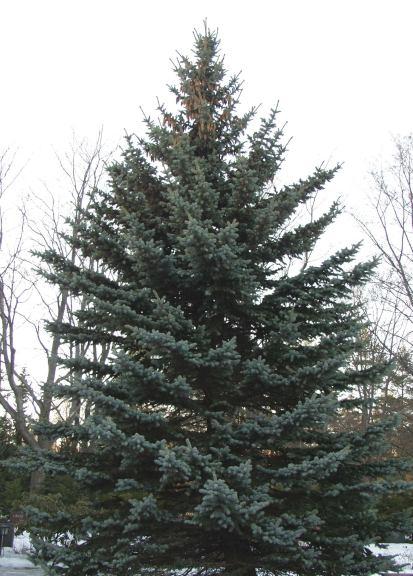 Picea_pungens_Glauca