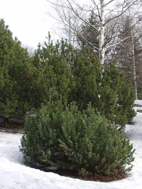 Pinus_mugo