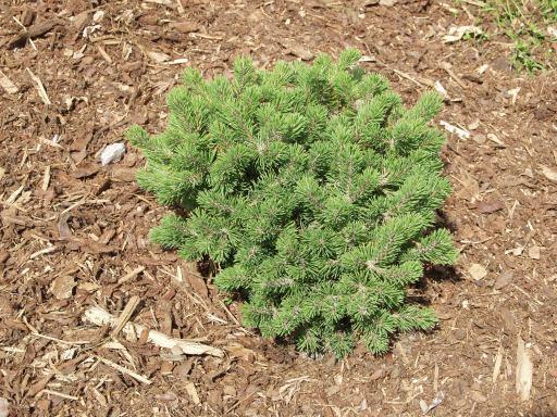 PinusmugoMops