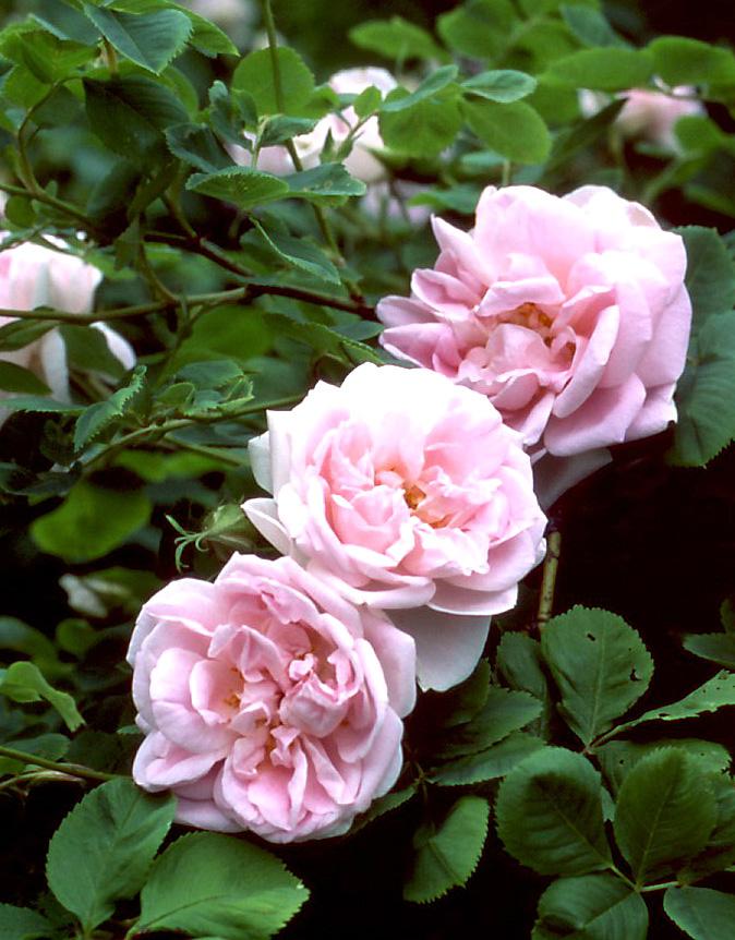 rosa-minette_er