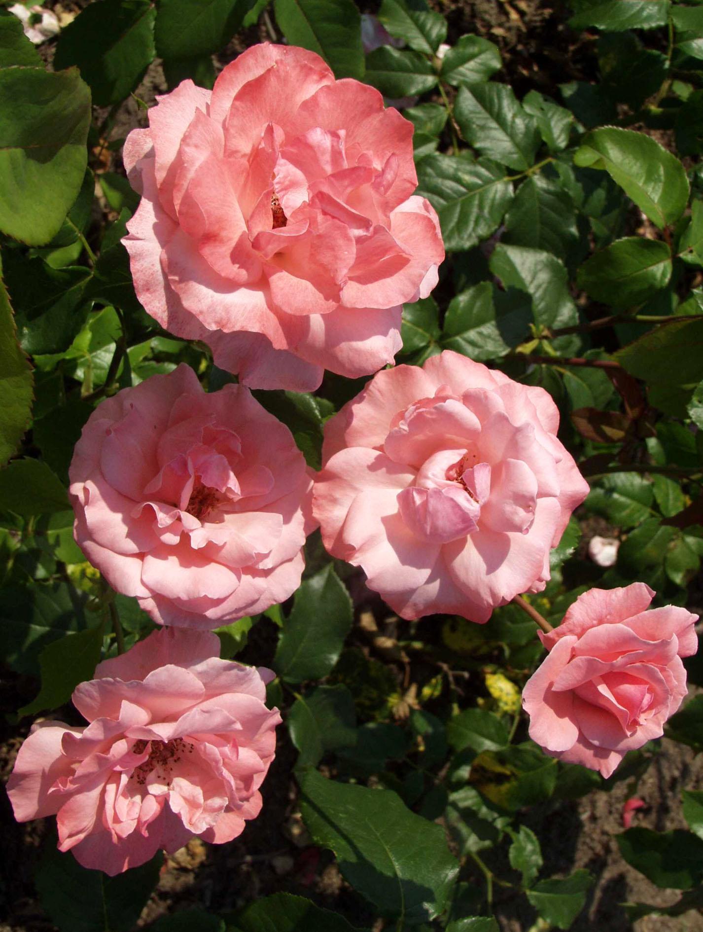 rosa-queen-elisabeth_28-7-03-aw