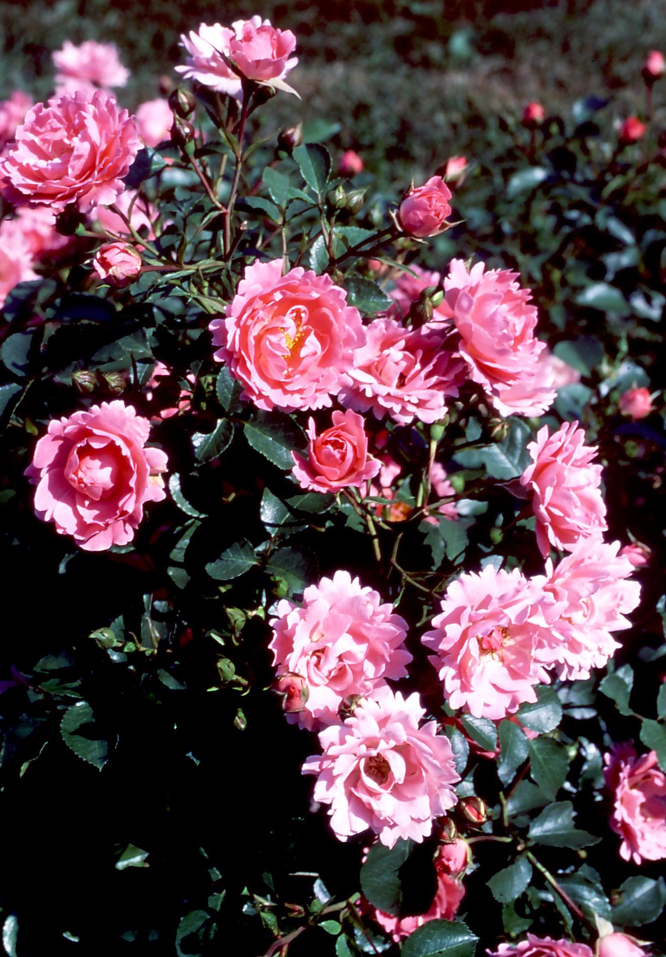 rosa-sommerwind_er