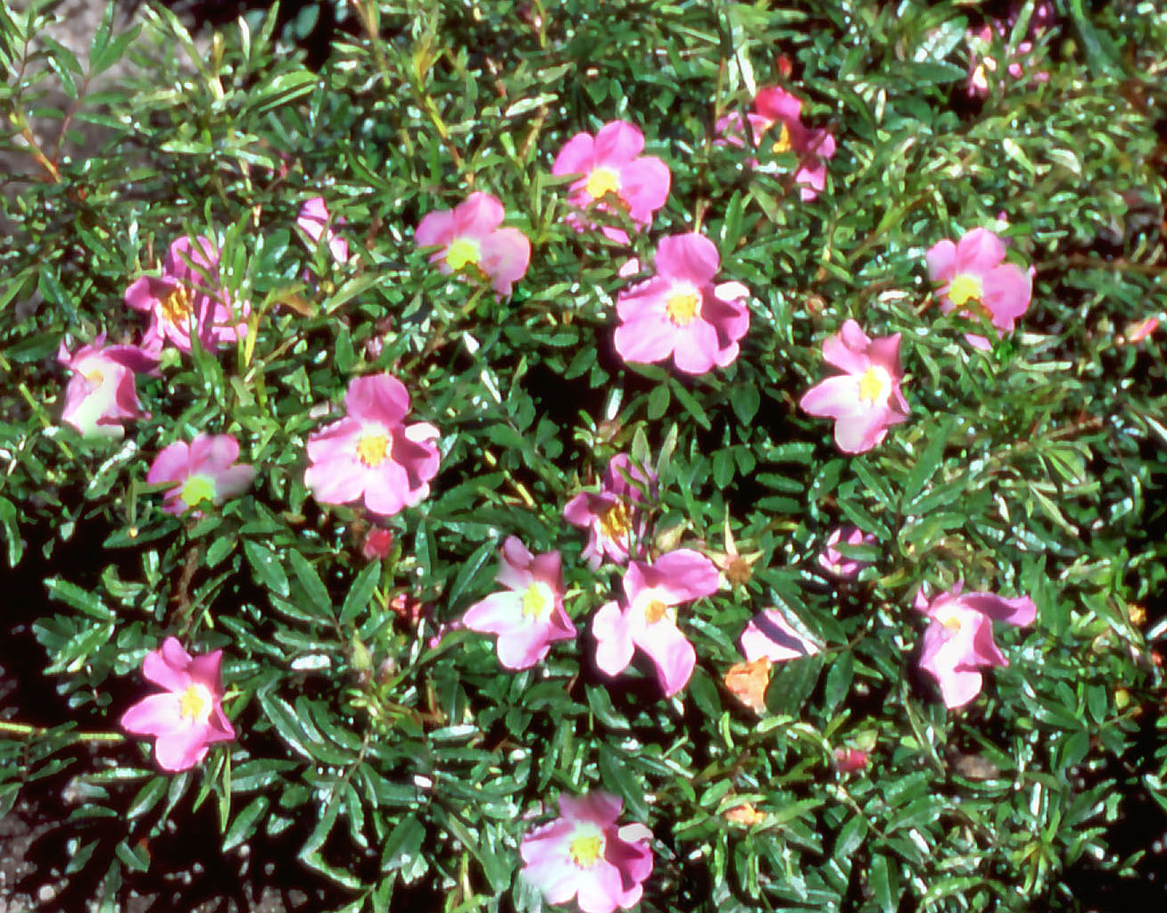 rosa-nitida-kebu_er
