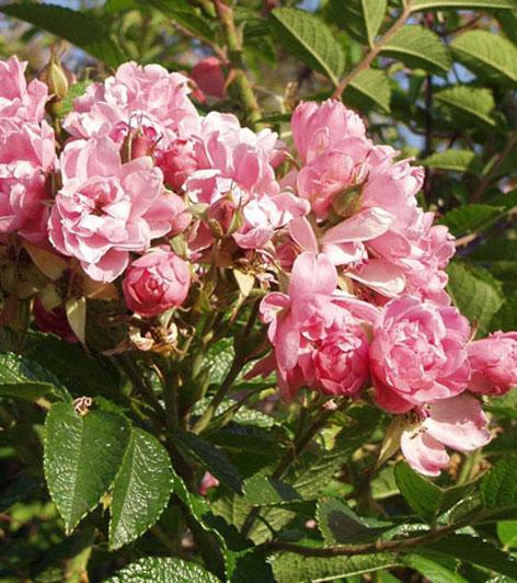 neilikkaruusu-Pink-Grootendorst