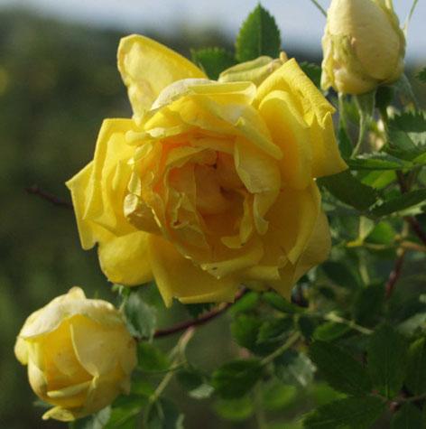 persiankeltaruusu-Persiana