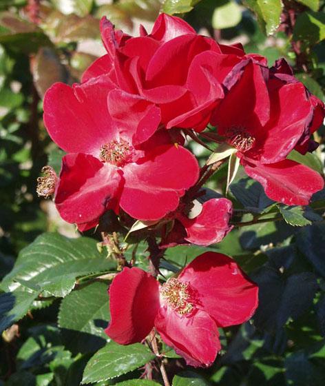 ruusu-Robusta